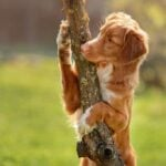 Brown and white dog standing on hind legs hugging a small tree