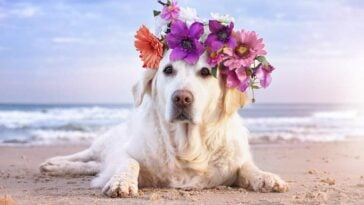 Yellow Labrador Retriever with a wreath of flowers on its head, lying on a beach with waved in the background.
