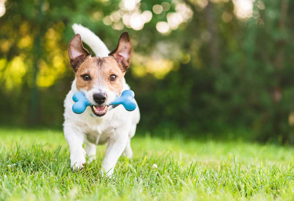 Jack Russell Terrier running across yard with blue dog bone toy in mouth