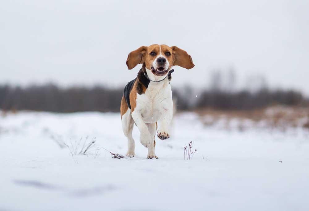 Beagle running toward camera in snow.