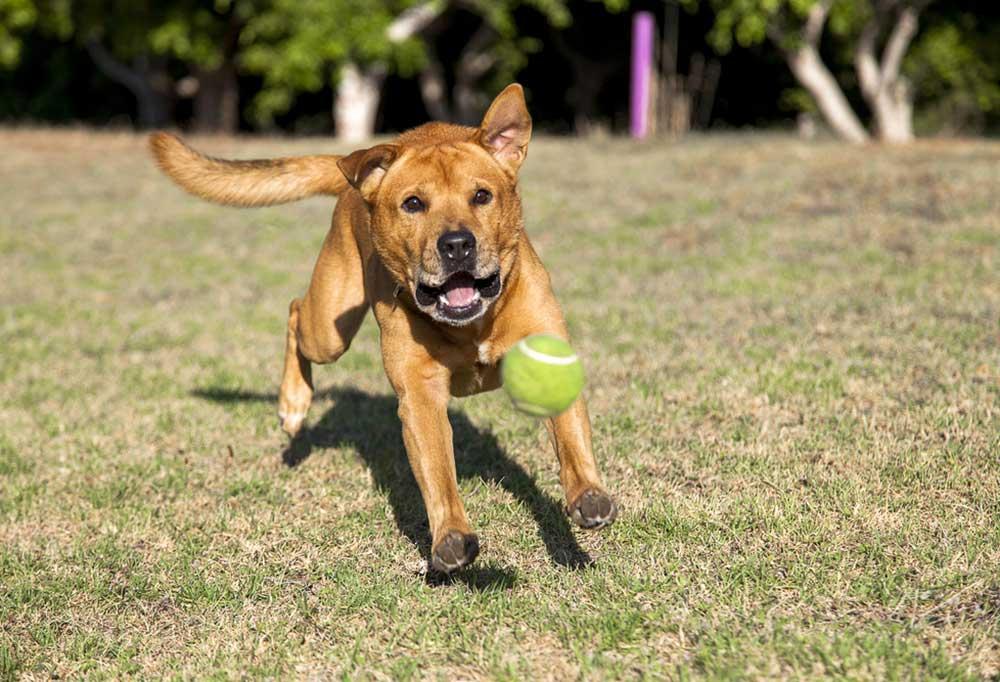 Brown dog running after a yellow tennis ball outdoors in grass.