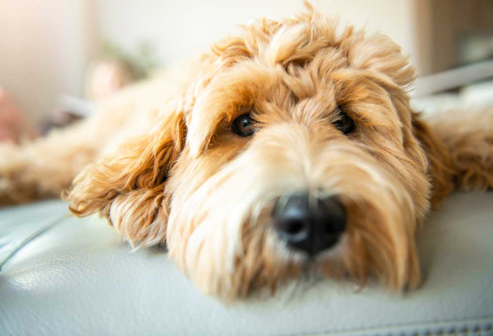 Close up portrait of a Goldendoodle laying down on a  a piece of furniture