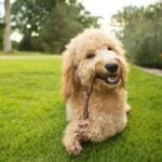 Goldendoodle chewing on a stick outdoors in grass
