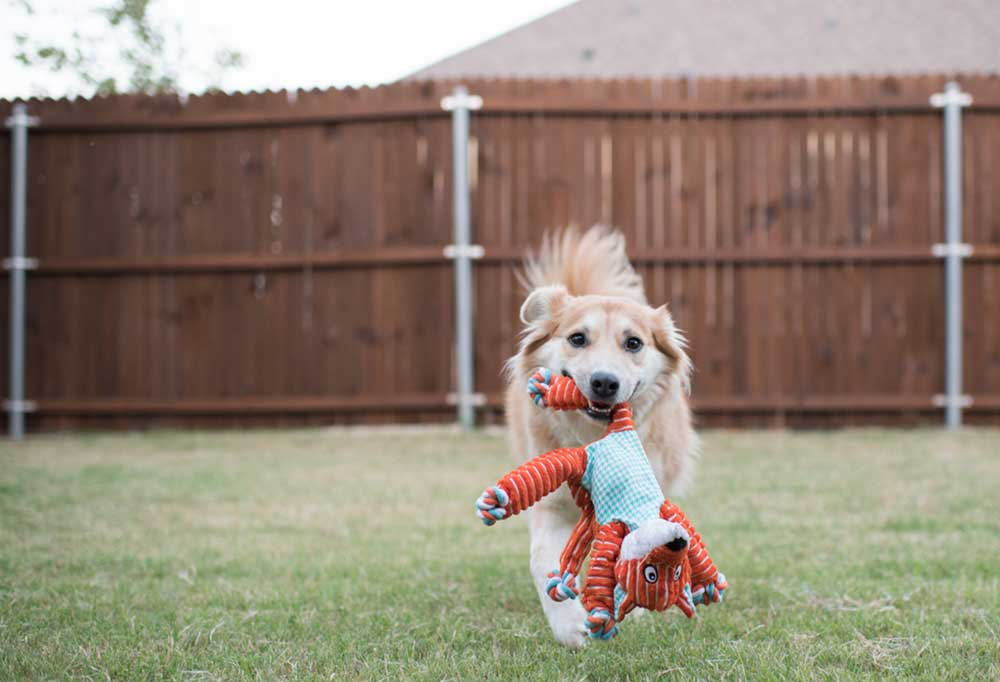Tan and white collie running towards camera with stuffed animal in mouth in a fenced in yard.