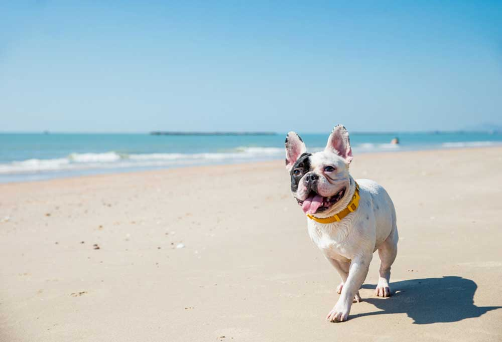 Boston Terrier coming toward the camera on a beach