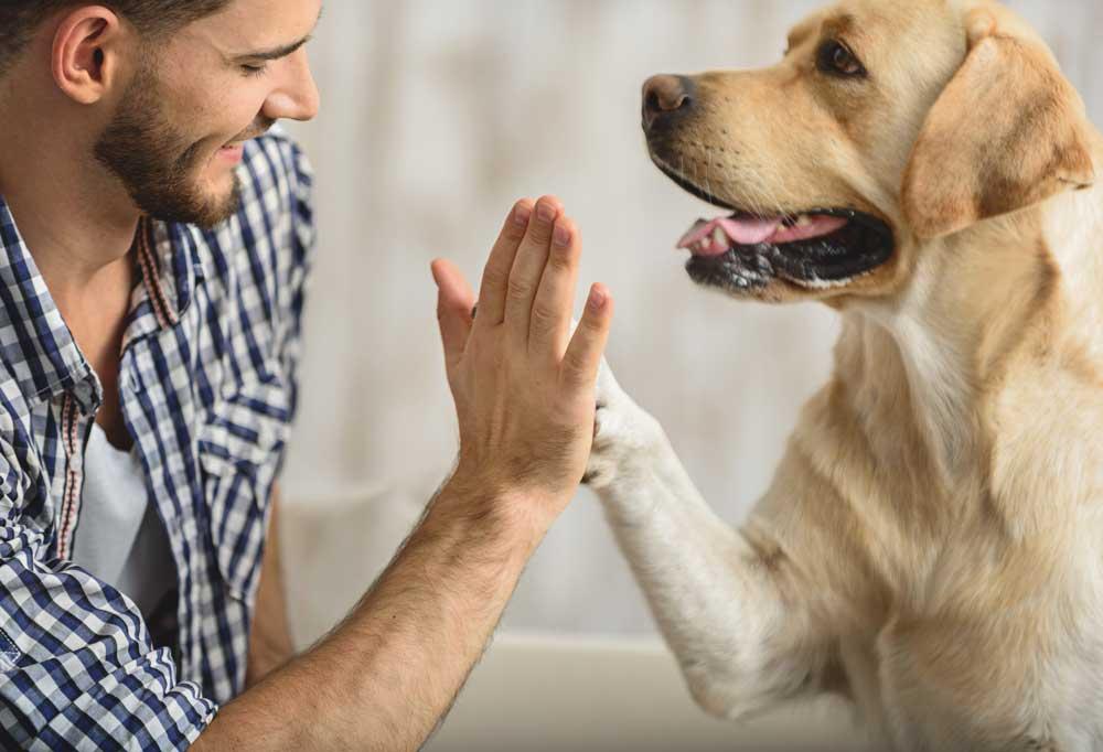 Yellow Labrador Retriever giving man a high five