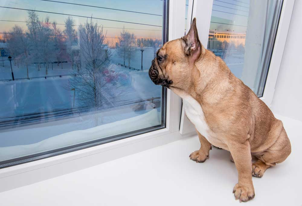 Pug in a windowsill looking out at the snow