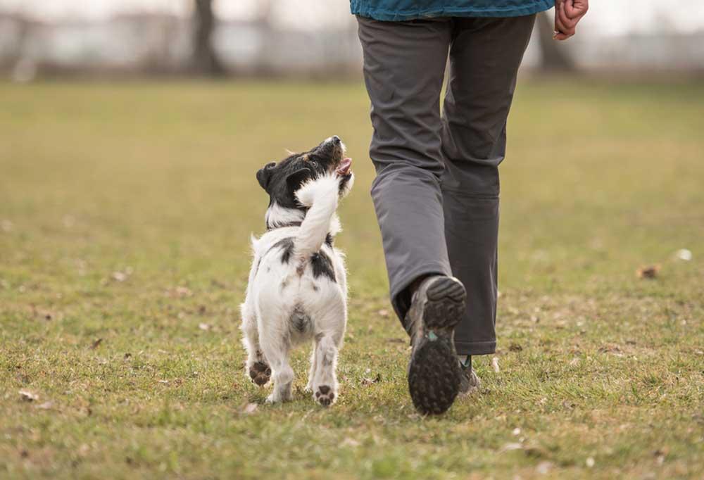 Jack Russell Terrier heeling at persons side, walking across a grass field.