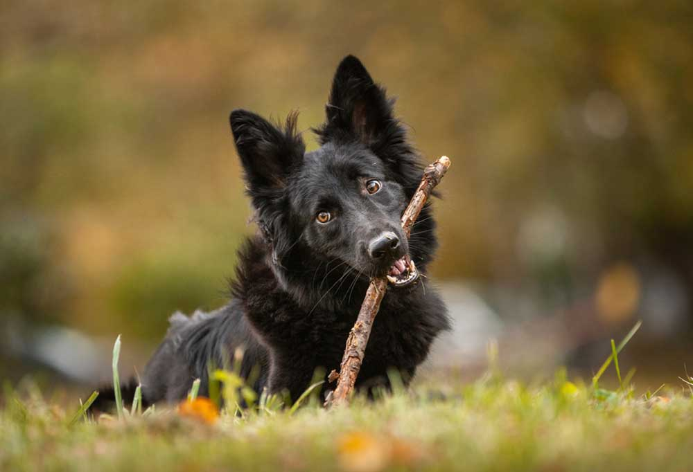 Black long haired dog laying in grass with a stick in its mouth.