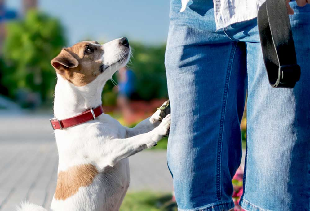 Jack Russell Terrier on hind legs with front paws on a pair of blue jean covered legs.
