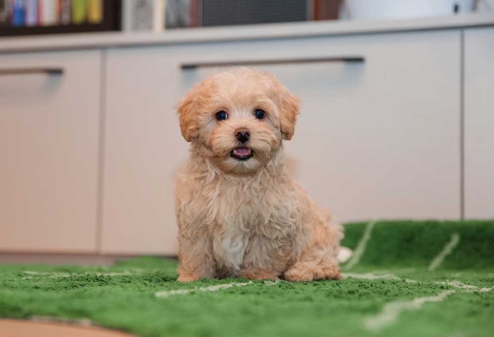 Maltipoo puppy sitting on a rug in front of white cabinets