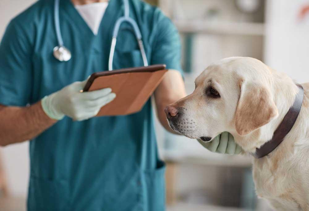 Yellow Labrador at vet
