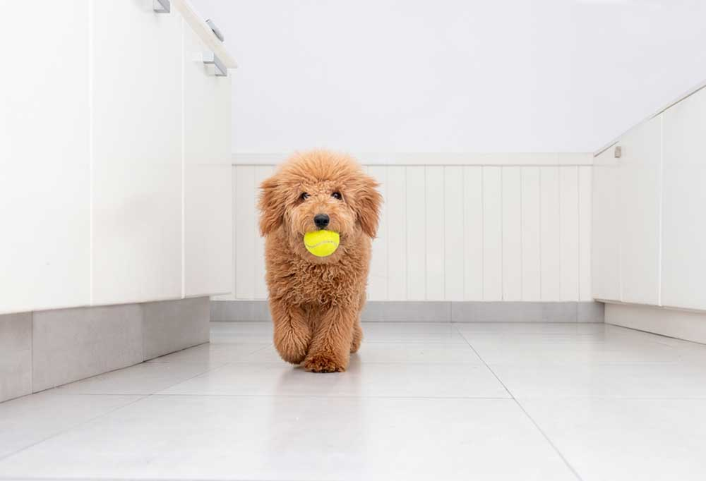 Mini Goldendoodle walking in a white themed room with a yellow tennis ball in its mouth