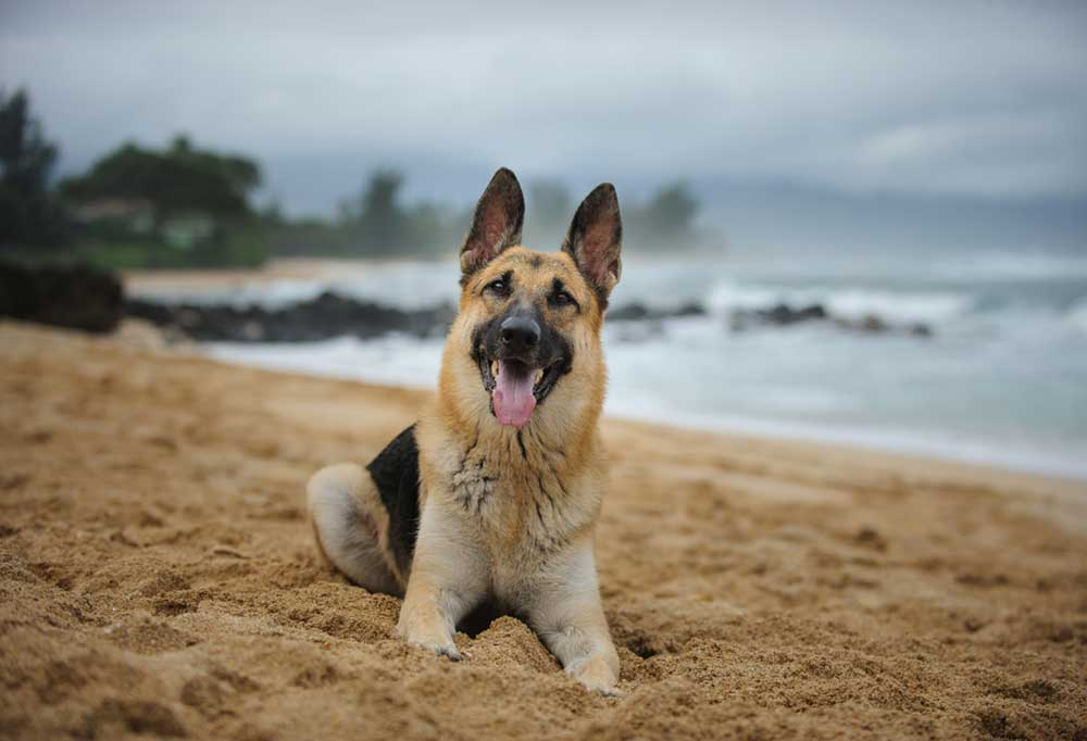 German shepherd lying down in the sand on a beach