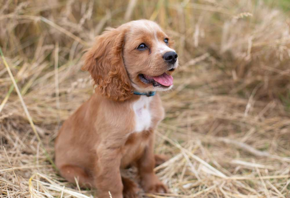 Cocker Spaniel mix puppy sitting in a pile of hay