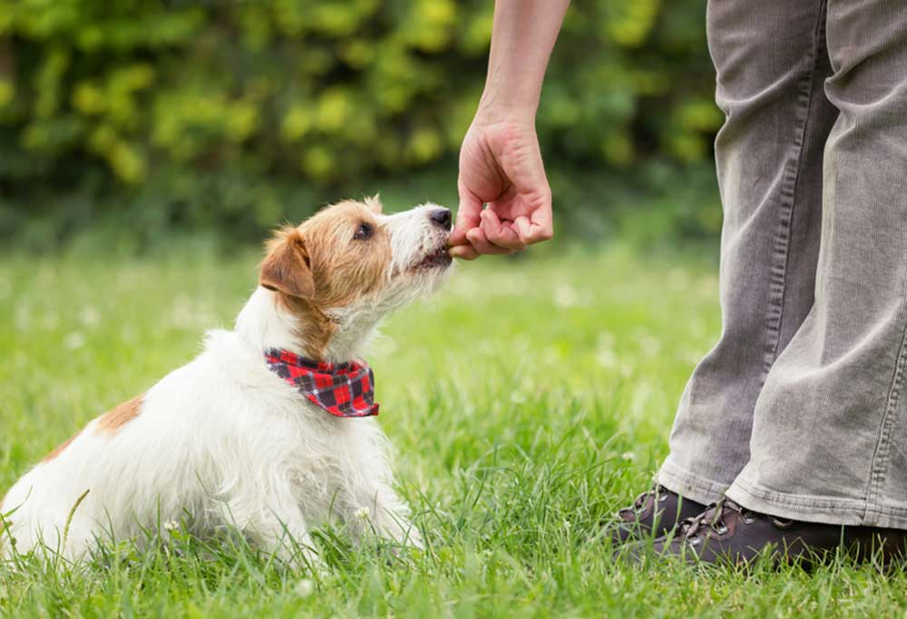 Person giving Jack Russell Terrier a treat outdoors in grass