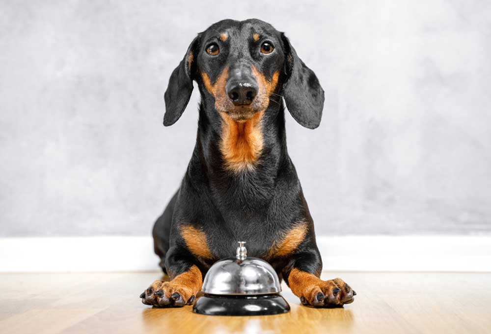 dachshund sitting on hard wood floor next to a wall with a bell in front of them on the floor.