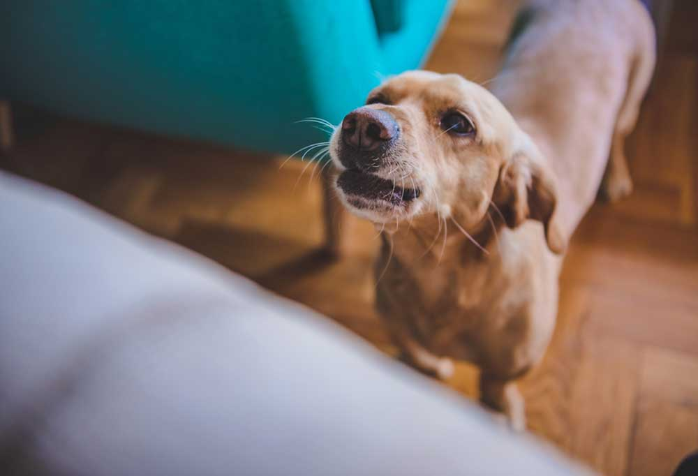 Chihuahua barking in living room setting