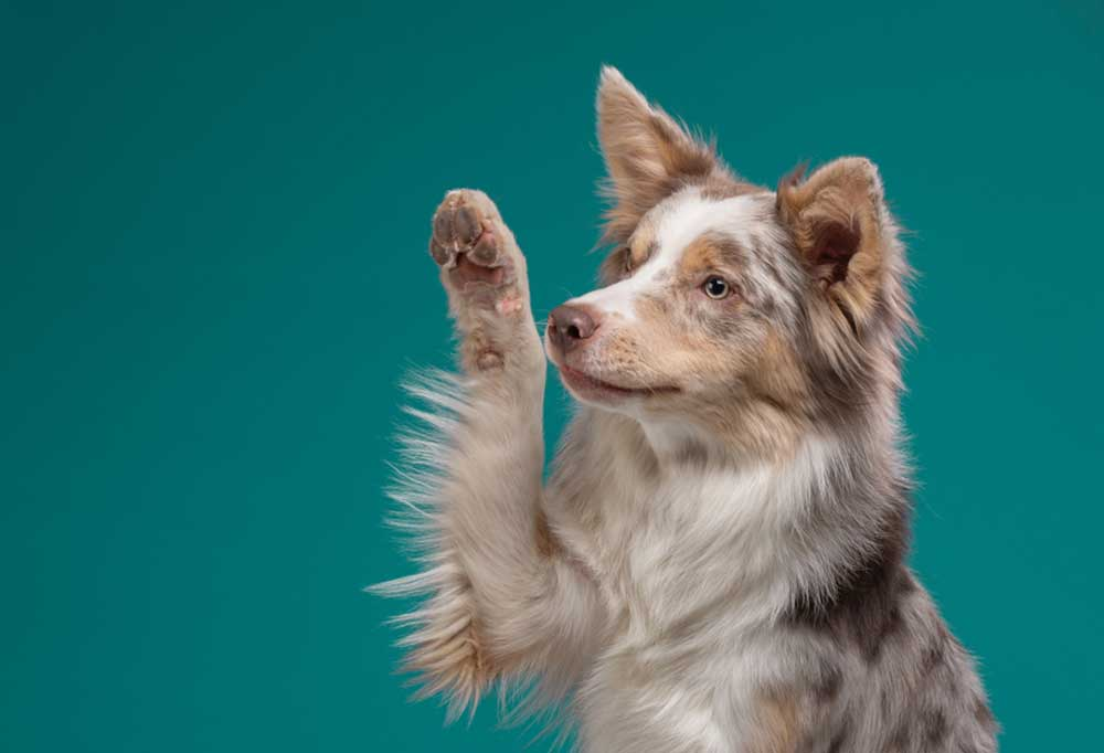 Australian shepherd with paw lifted as in salute against a seafoam green backgroun