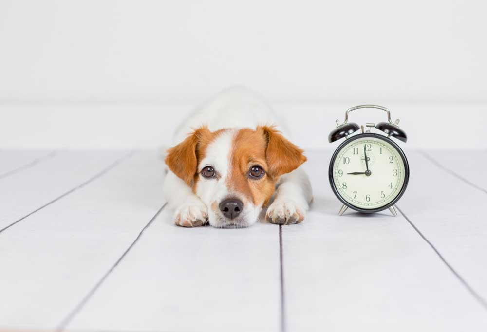 Jack Russell Terrier next to an alarm clock on white wooden floors.