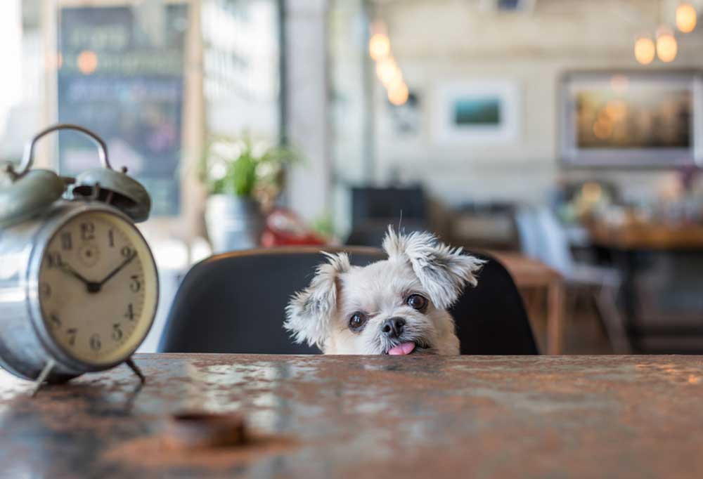 Small dog looking up over edge of a table with an alarm clock on it.