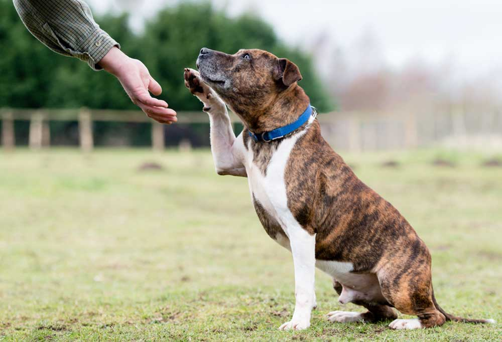 Brindle colored terrier/ hound mix with paw lifted to shake persons hand outdoors in grass