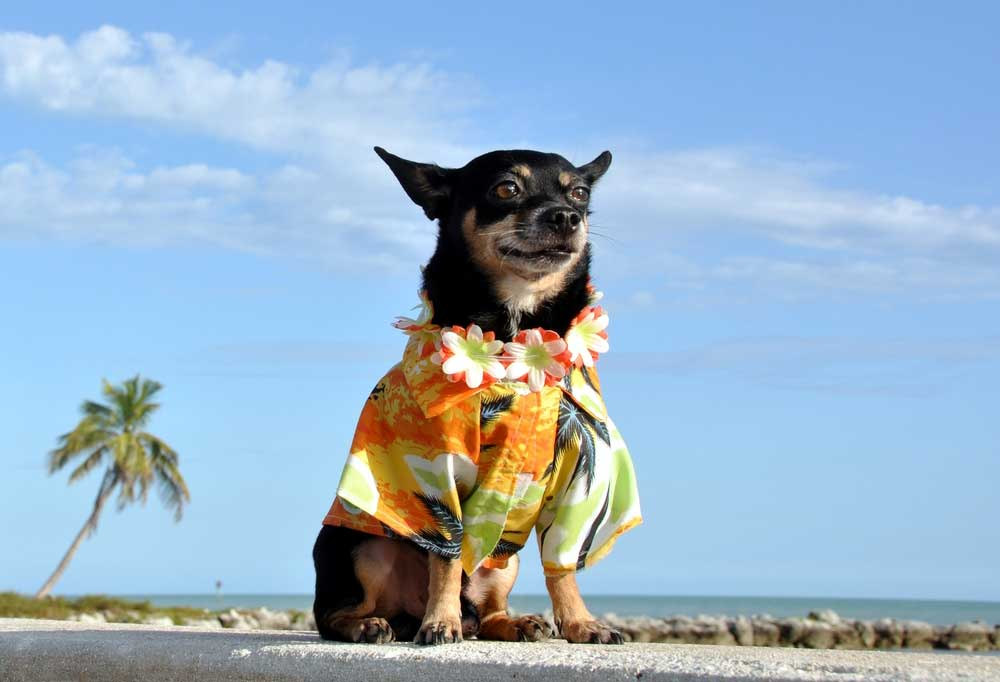 Black and tan Chihuahua wearing a floral shirt, sitting on a beach with a palm tree in background.