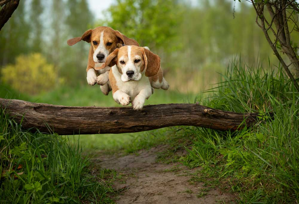 Two Beagles jumping over fallen log on grass lined dirt trail.