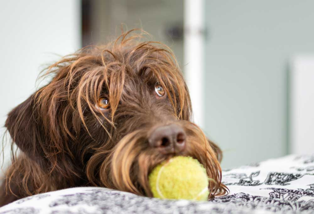 Shaggy brown dog bringing yellow tennis ball to the edge of a bed.