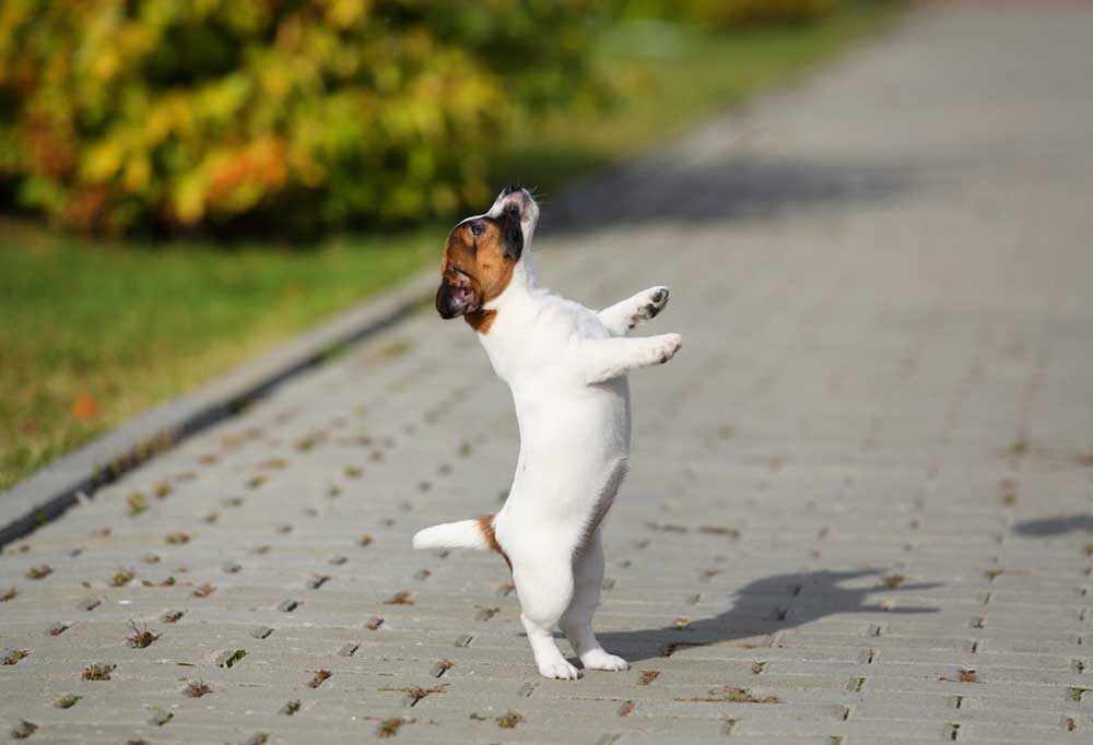 Jack Russell Terrier puppy on a brick paver pathway, standing on its hind legs.