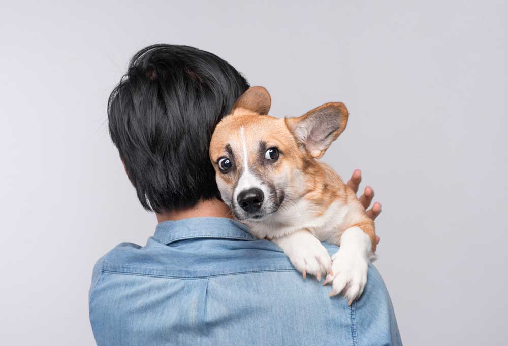 Corgi looking startled over person's shoulder who is holding them. On a white background.