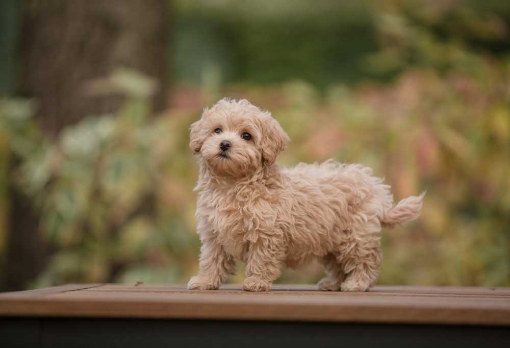 Portrait of a Teacup Maltipoo standing on a wood platform outdoors