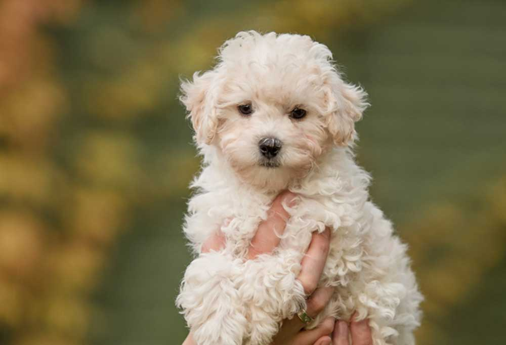 Portrait of a teacup maltipoo being held up in the air