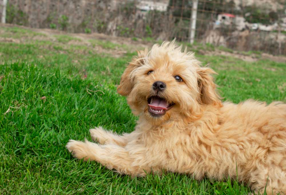 Toy Goldendoodle laying in grass outdoors