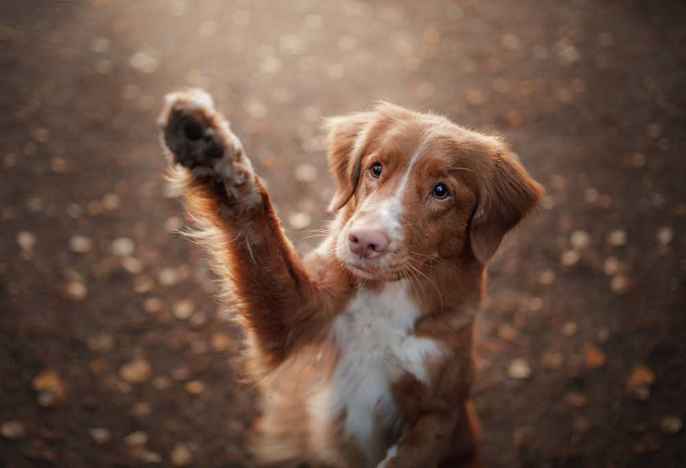Brown and white dog with paw lifted in air, waving