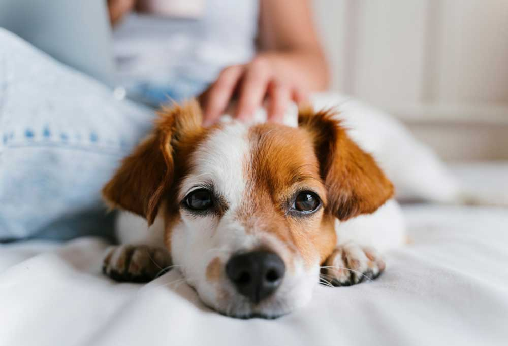 Close up of a Jack Russell Terrier laying on a bed with someone's hand on their back