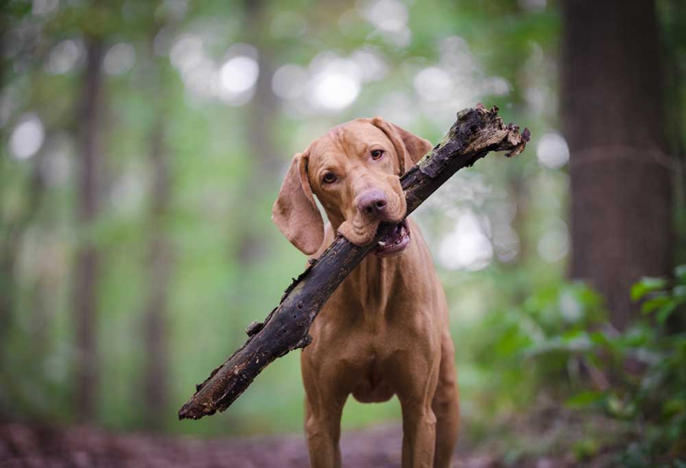 Hound with large stick in its mouth, outdoors in woods.