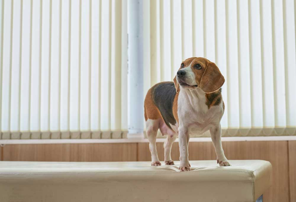 Beagle standing on piece of furniture next to a window.