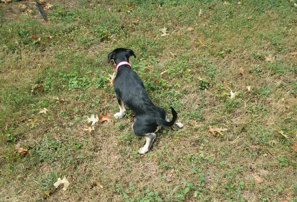 Female Jack Russell Terrier peeing on the grass