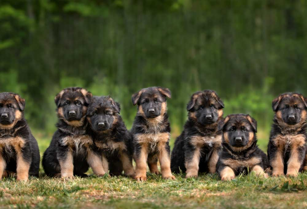 7 German Shepherd puppies sitting and laying side by side in a field of grass