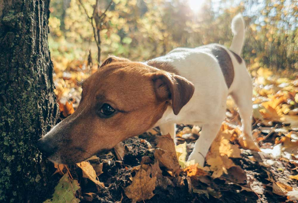 Jack Russell Terrier sniffing the base of a tree