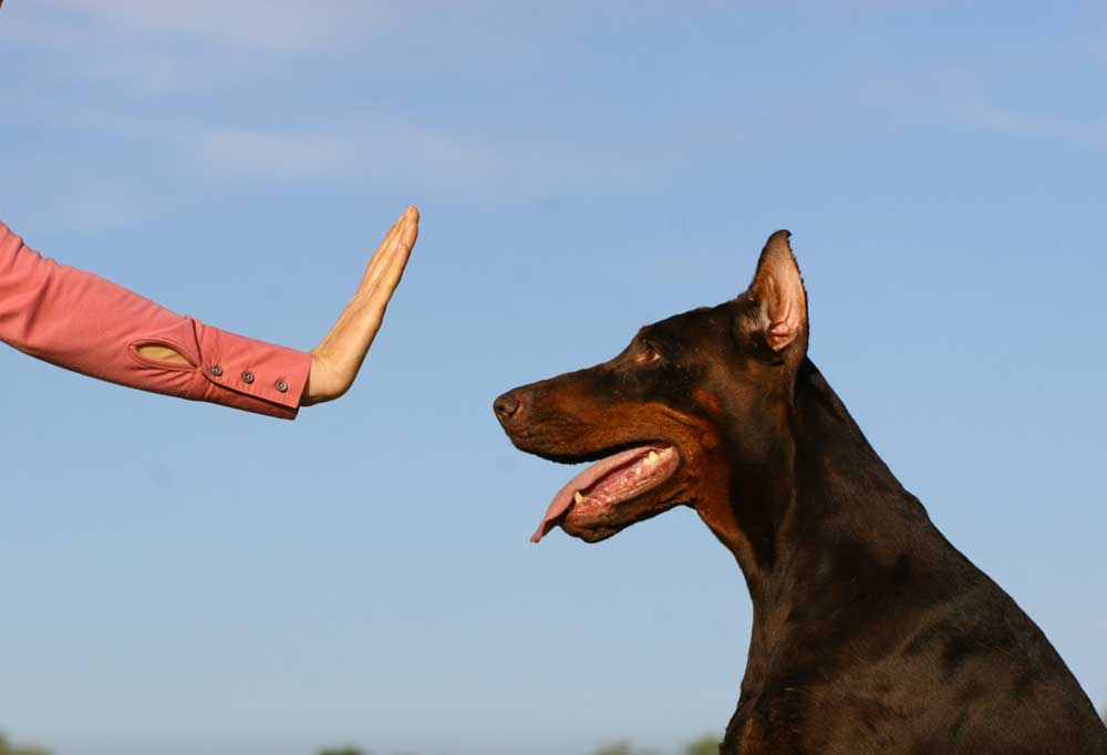 Person holding a hand out to a Doberman Pincher telling them to stop.