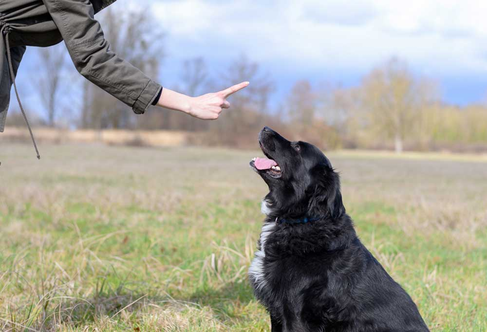 Person holding up 1 finger to a black and white dog sitting in a large grass field.