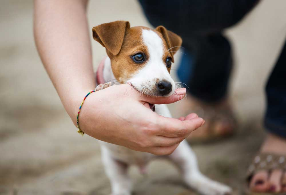 Close up of a Jack Russell Terrier puppy play biting a person's thumb