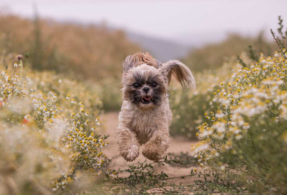 Small hairy dog running fast towards the camera on a dirt path surrounded by wild flowers