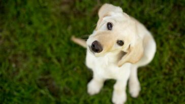 Yellow Labrador Puppy looking up at the camera while sitting in grass.