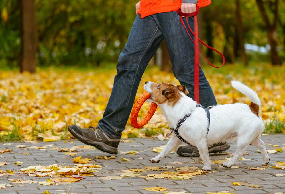 Jack Russell Terrier walking at man's side on a red leash with an orange toy ring in its mouth
