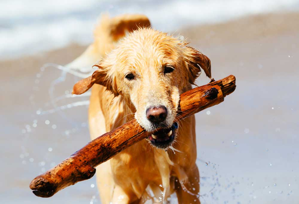 Golden Retriever with a piece of driftwood in its mouth running on beach.