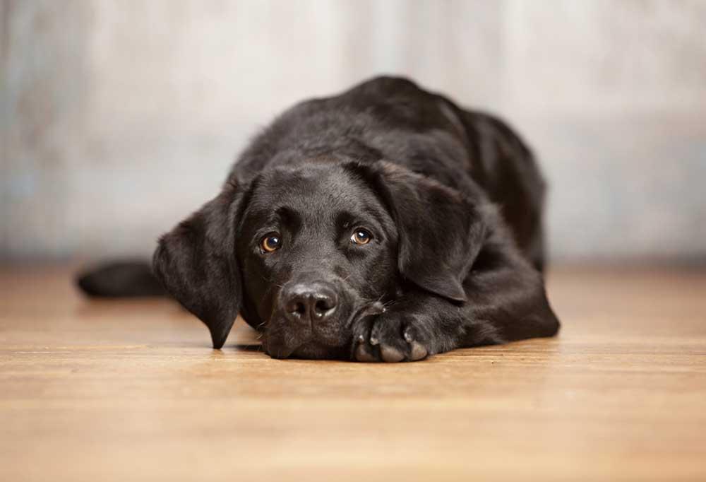 Labrador retriever laying on a wooden floor