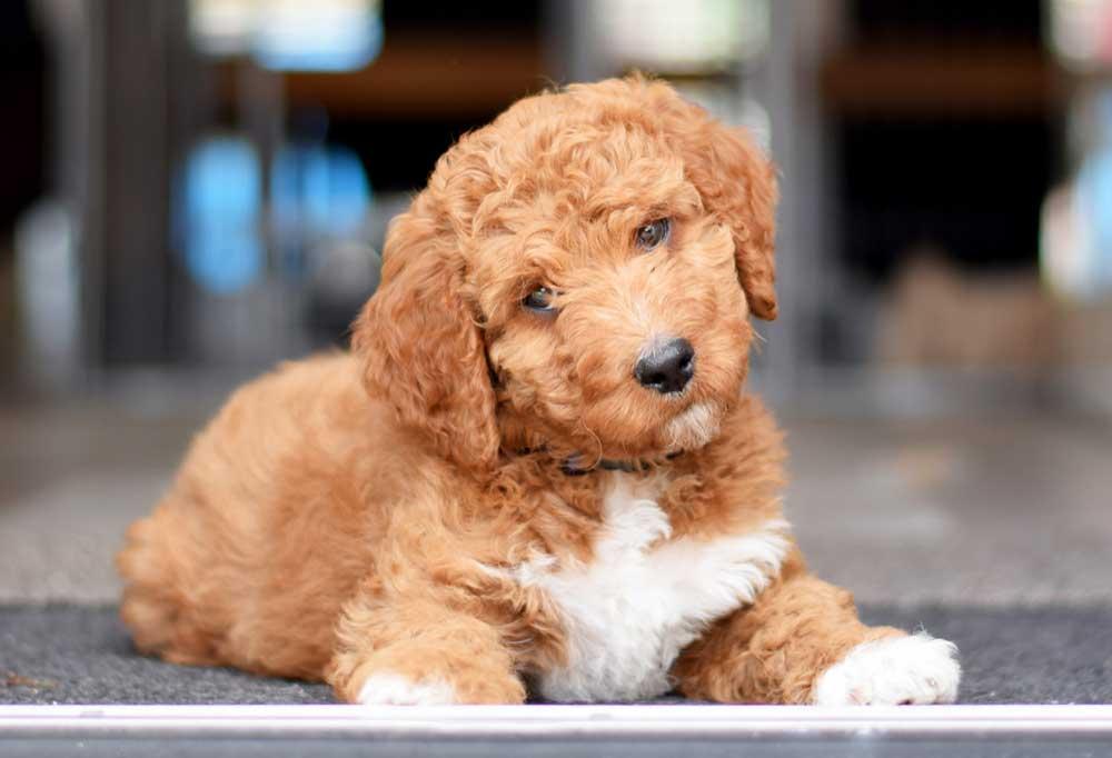 Portrait of a Mini Irishdoodle